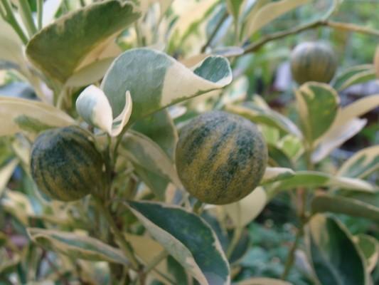 """Апельсин Вариегатный (Пёстролистный) Citrus sinensis """"Foliis variegatis"""" до 20 см. Комнатный"""