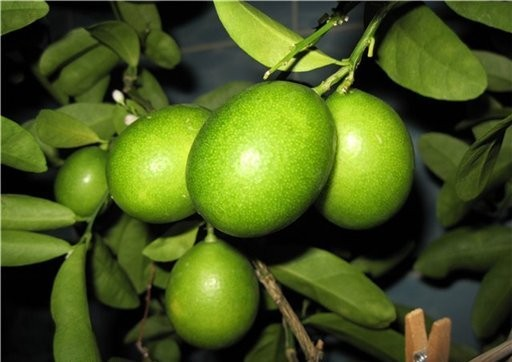 Лимонелла (Лаймкват) Limonella (Eustis Limequat) до 20 см. Кімнатний