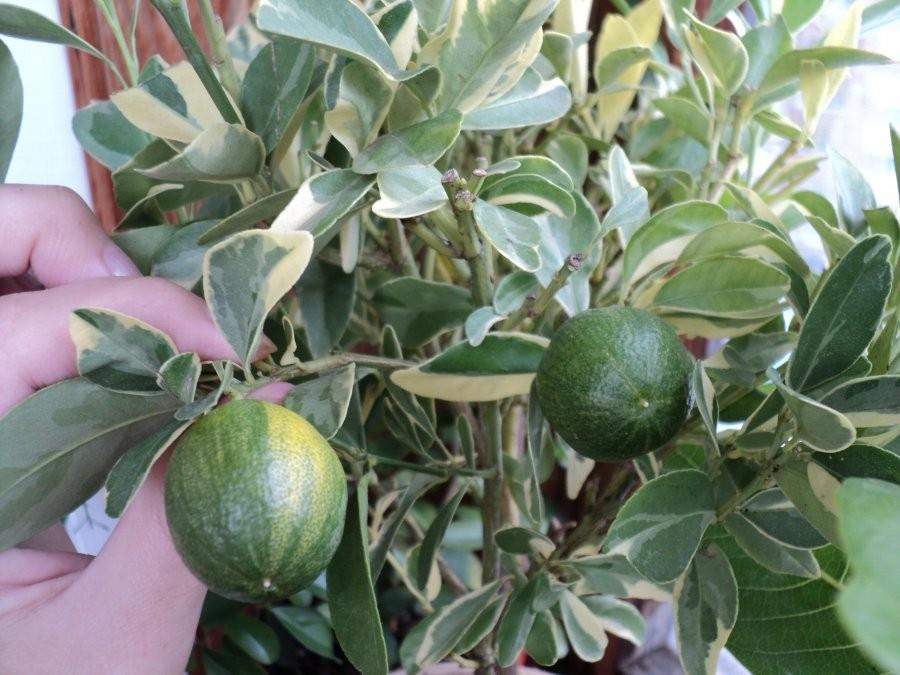 Каламондин / Цитрофортунелла (calamondin variegated) Вариегатный 20-25 см. Кімнатний