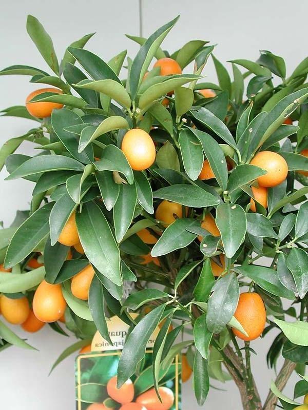 Кумкват Маргарита (Fortunella Margarita) 55-60 см. Кімнатний