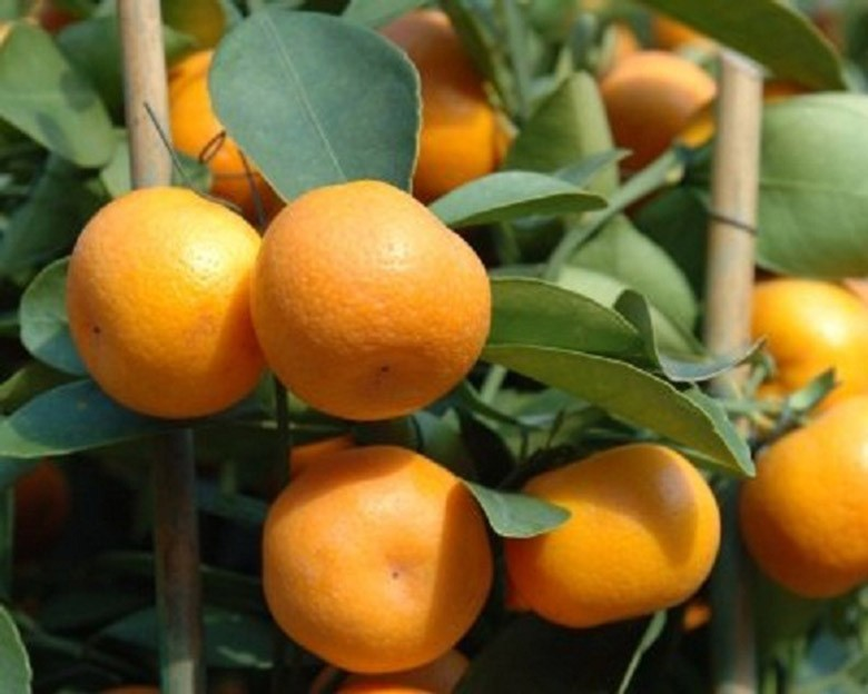 Кумкват Кукле (Citrus x 'Kucle') 25-35 см. Комнатный