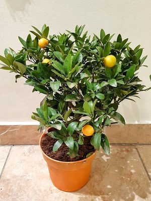 Кумкват Отилия (Kumquat Otilia) 25-35 см. Комнатный.