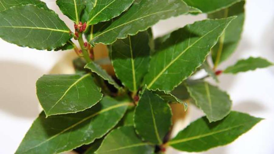 Лавр благородний ( Laurus nobilis) 30-40 см. Кімнатний
