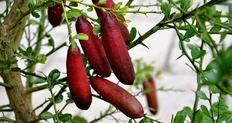 Лайм Фінгер, (Citrus australasica, Finger Lime) 10-20 см. Щеплений кімнатний