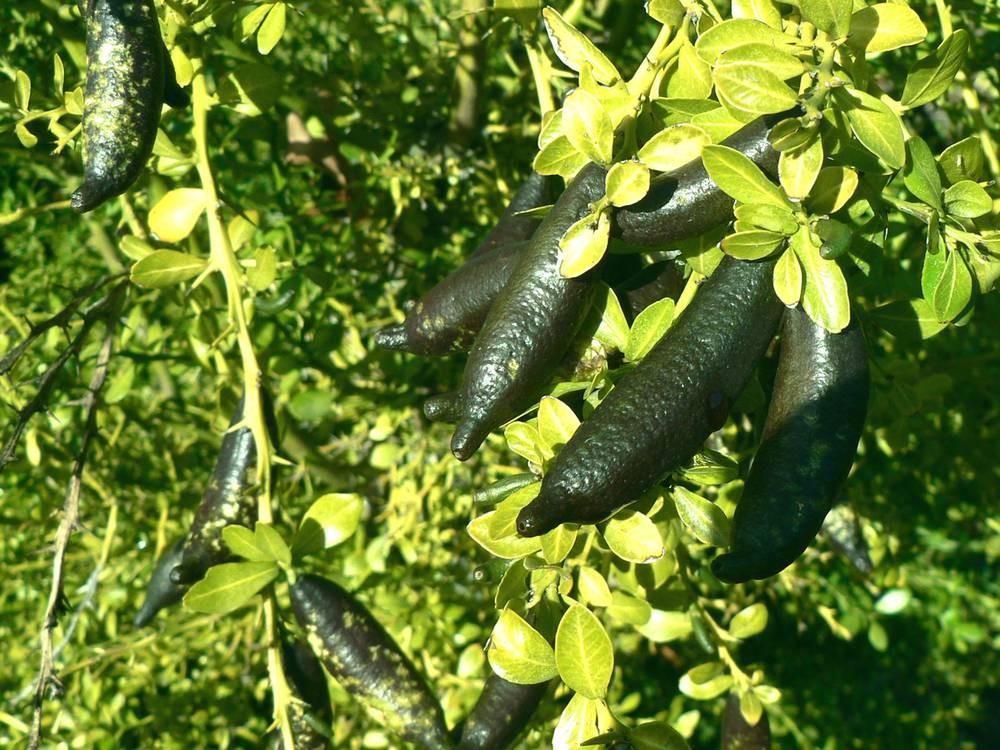 Лайм Фингер, (Citrus australasica, Finger Lime) 25-30 см. ПРИВИТЫЙ Комнатный