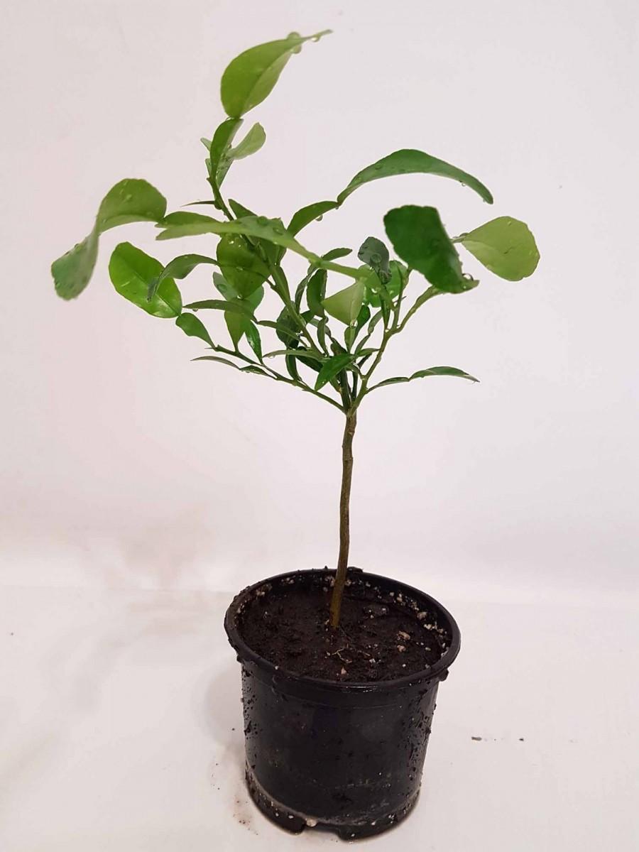 Кафрський Лайм, Хистрикс (Kaffir Lime, Citrus hystrix) 35-40 см. Кімнатний
