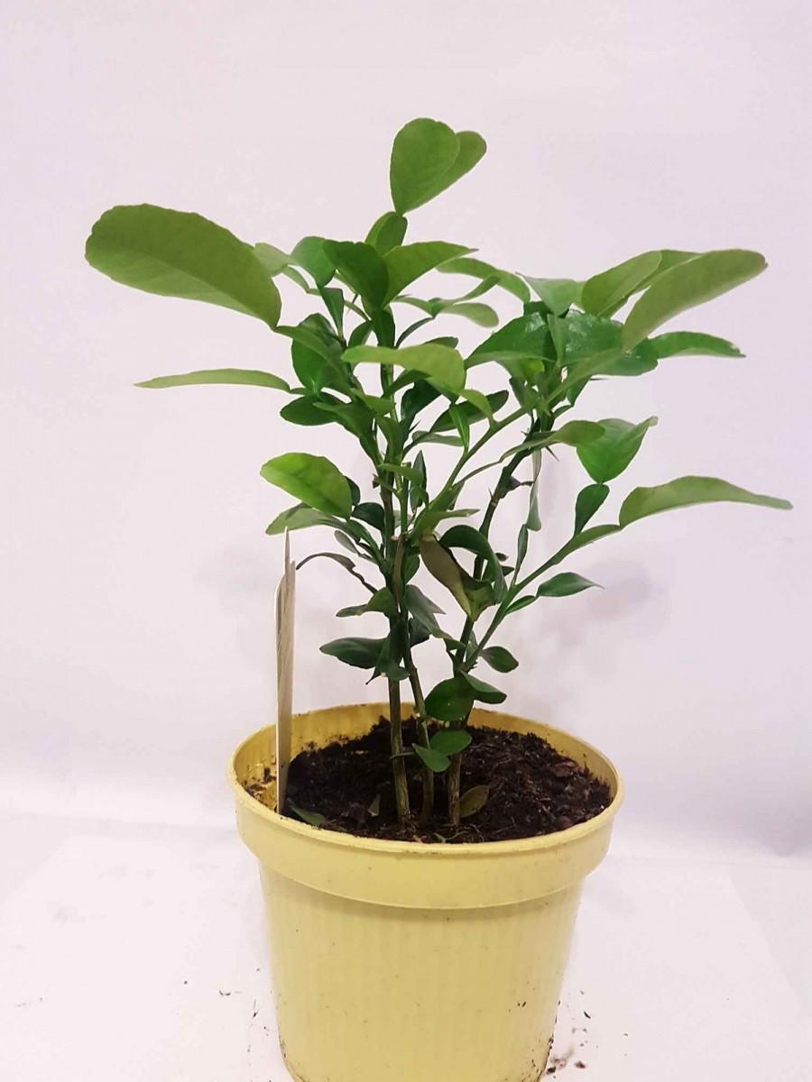 Кафрський Лайм, Хистрикс (Kaffir Lime, Citrus hystrix) 20-30 див. КУЩ. Кімнатний