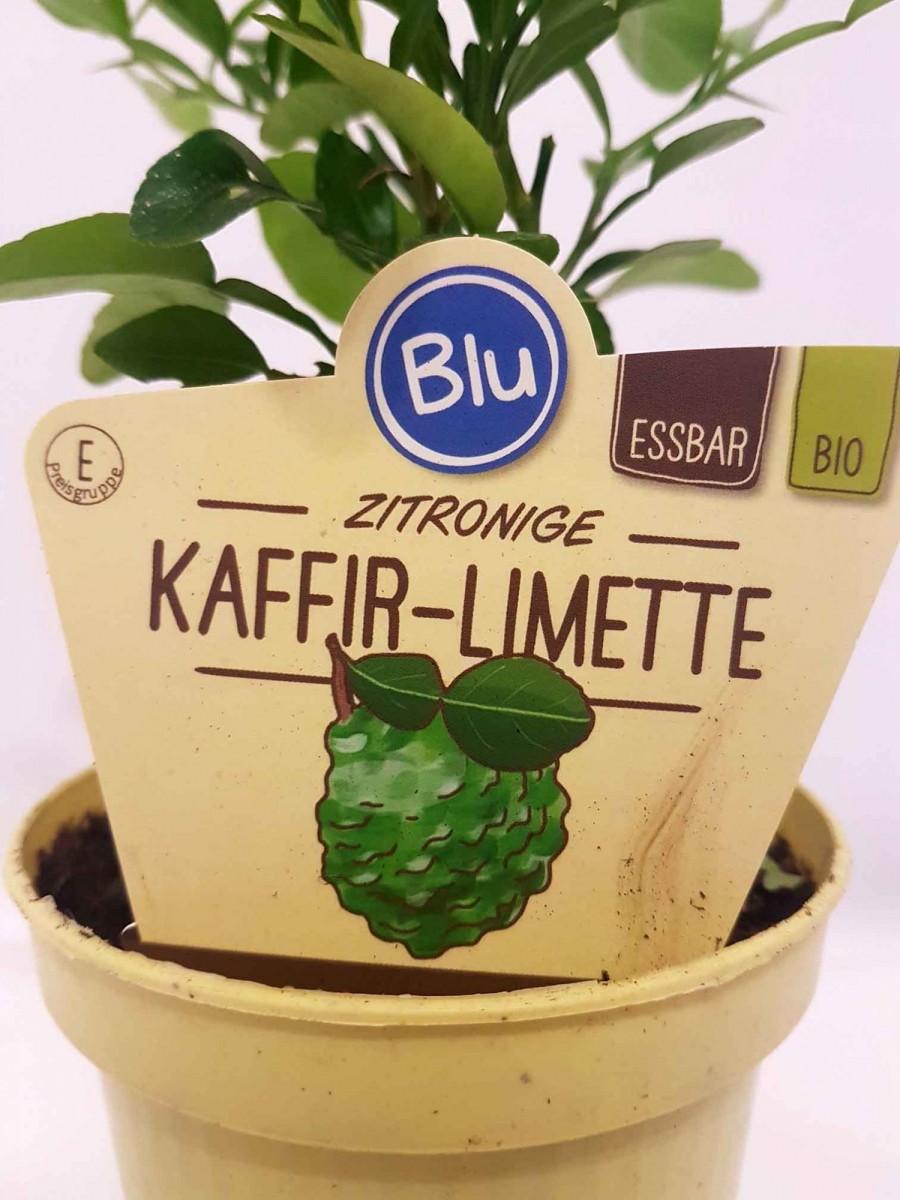 Лайм Кафрский, Хистрикс (Kaffir Lime, Citrus hystrix) 20-30 см. КУСТ. Комнатный