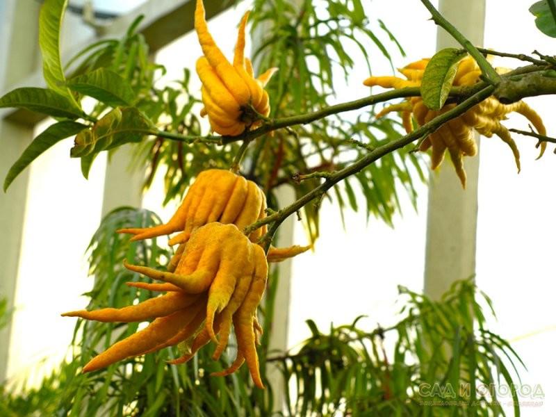 Цитрон рука Будди (лат. Citrus medica sarcodactylis) 20-25 см. Кімнатний