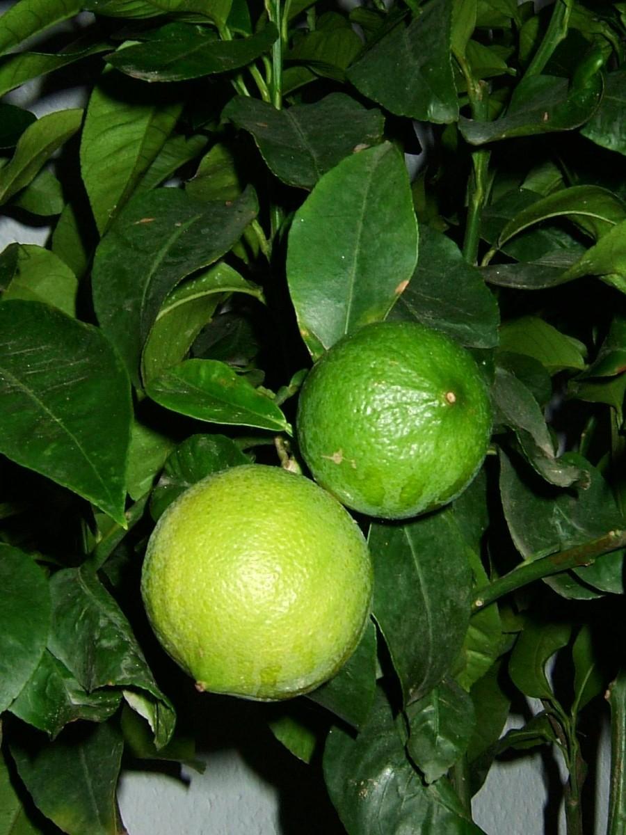 "Бергамот Фантастика (Citrus bergamia Risso ""Fantastico"") 20-25 см. Кімнатний"