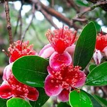 Фейхоа (Acca sellowiana) 40-50 см. кімнатна