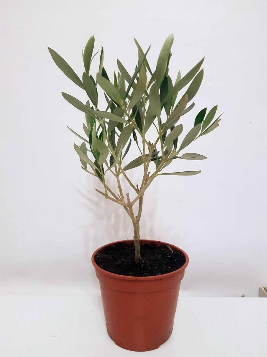 Олива Європейська (Olea europaea) 50-60 см. кімнатна