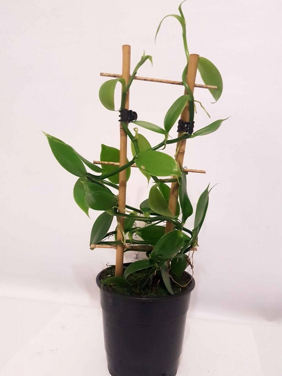 Орхидея Phalaenopsis - Ваниль плосколистная (Vanilla planifolia)