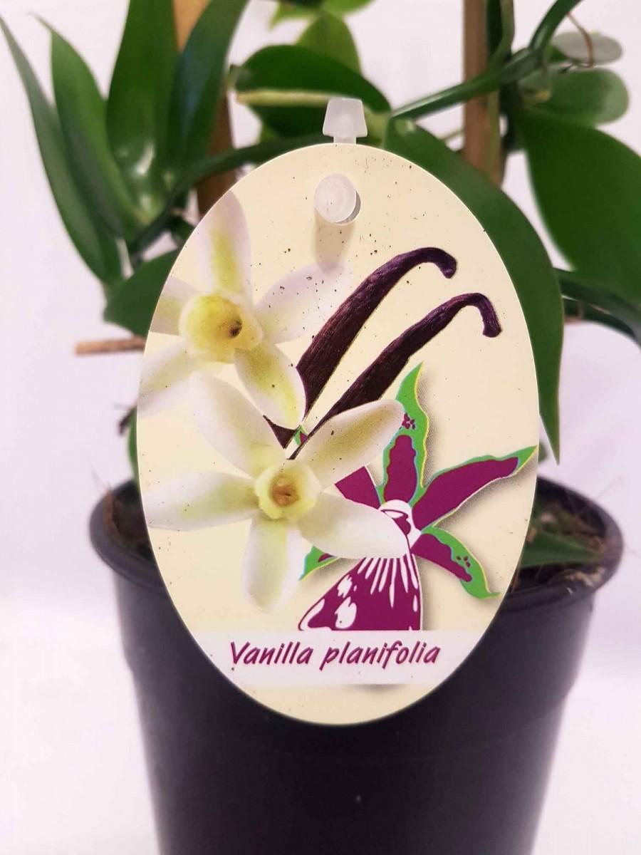 Орхідея Phalaenopsis-ваніль плосколиста (Vanilla planifolia)
