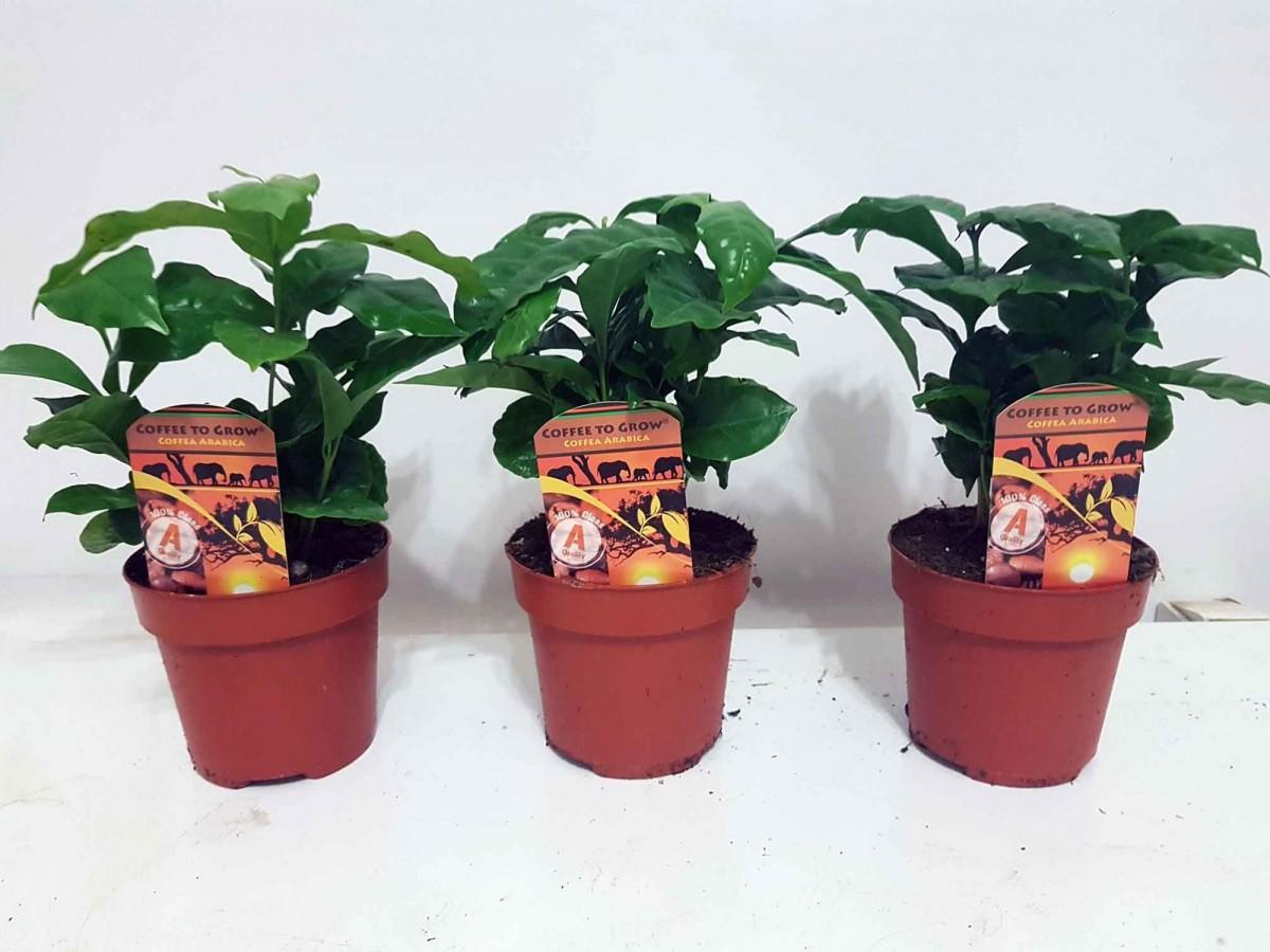 Кофейный куст Арабика (Coffea arabica) 10-20 см. Комнатный