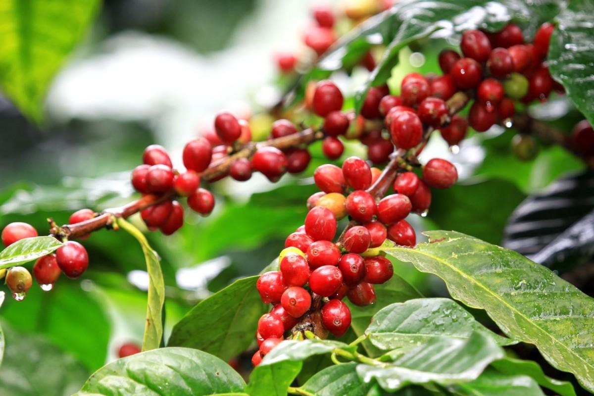 Кавовий кущ Арабіка (Coffea arabica) до 20 см. кімнатний