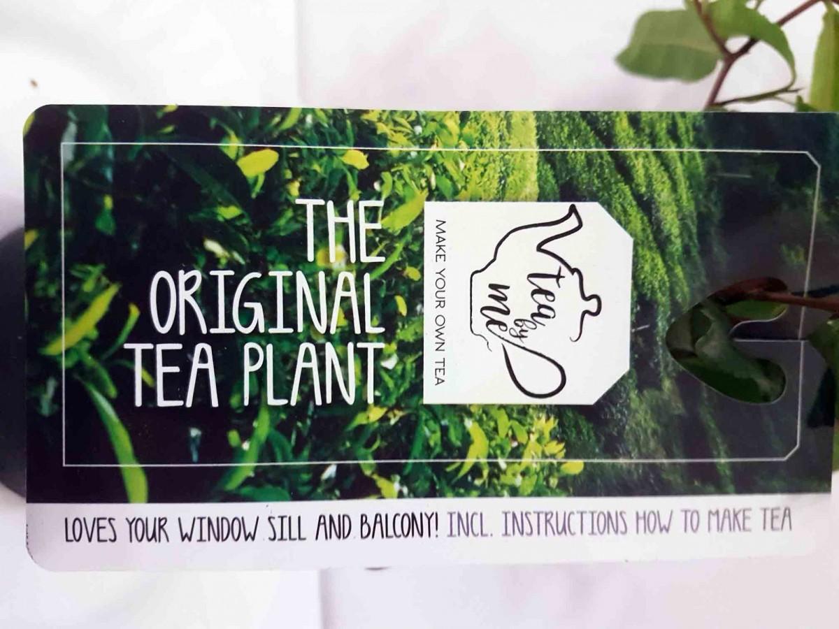 Чайний кущ (Camellia sinensis) 20-30 см. кімнатний