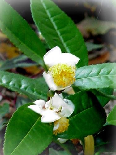Чайный куст (Camellia sinensis) 50-60 см. Комнатный