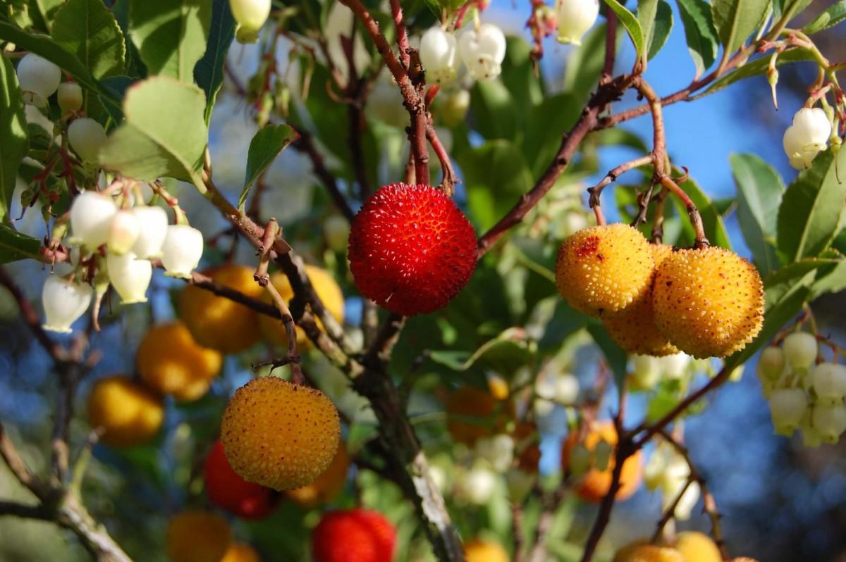 Суничне дерево Арбутус (Arbutus) 20-30 см. кімнатний