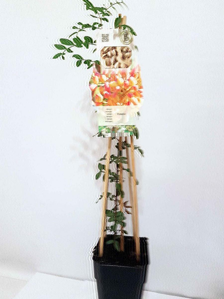 Фісташка (Pistacia vera) 20-30 см. кімнатна
