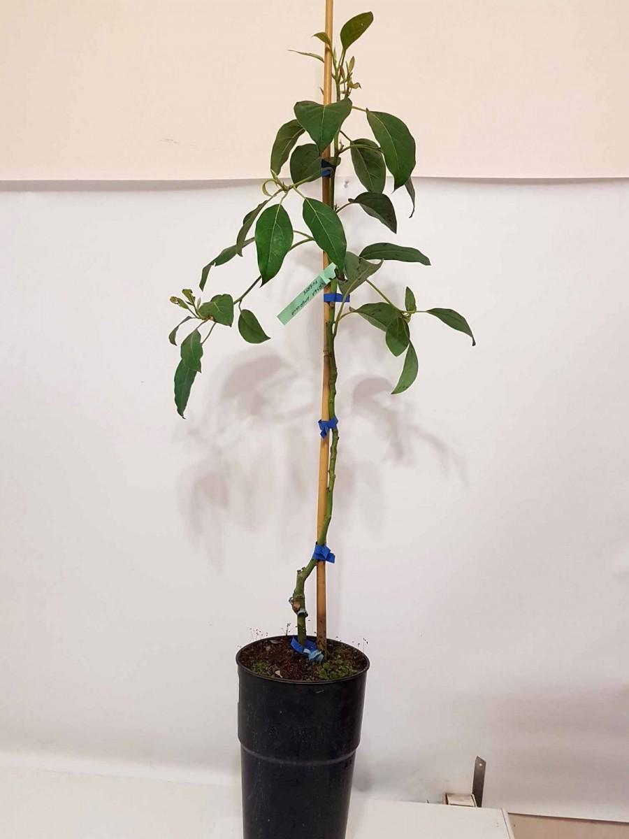 Авокадо (Persea americana) 60-80 див. Прищеплена. Кімнатний