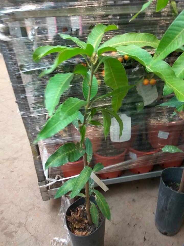 Манго привитый Остин (Mangifera OSTEEN) 80-100 см. Привитый