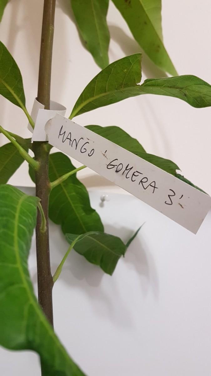 Манго привитый Гомера 3 (Mangifera Gomera 3) 140-160 см. Комнатный