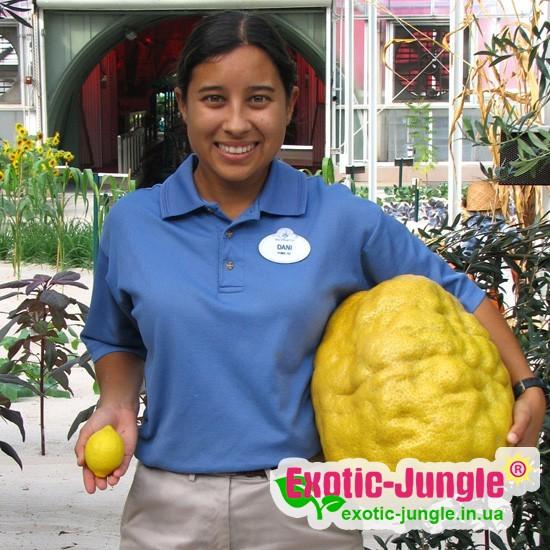 """Лимон """"Найн Паундер"""" (C. limon """"Nine Pounder"""") до 20 см. Кімнатний"""