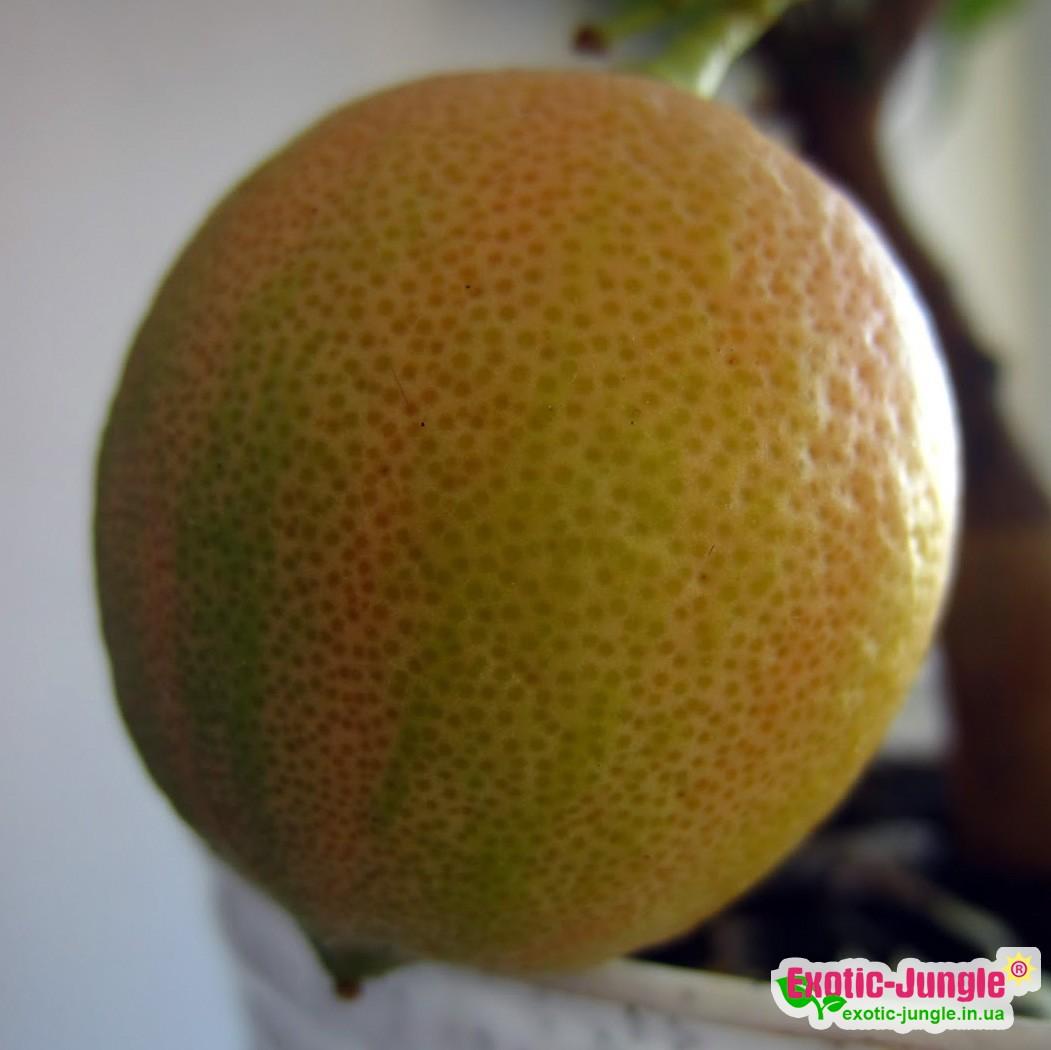 """Лимон вариегатный """"Сангвинеум"""" (C.limon """"Foliis variegatis Sanguineum"""") 20-25 см. Комнатный"""