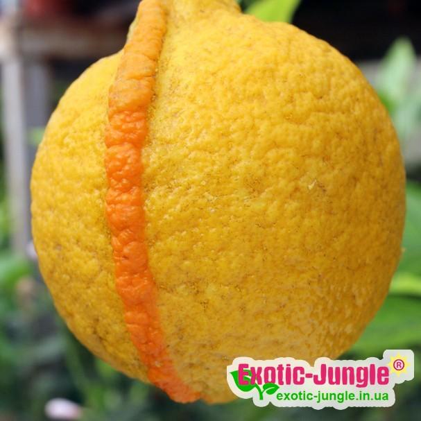 """Лимон рожевий """"Сангвинеум"""" (C. limon """"Sanguineum"""") до 20 см. Кімнатний"""