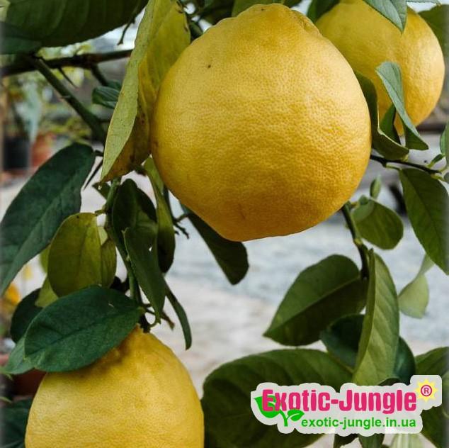 Лимон Липо (Citrus Limon x Citrus Paradisi Lipo, Imperial lemon) до 20 см. Кімнатний