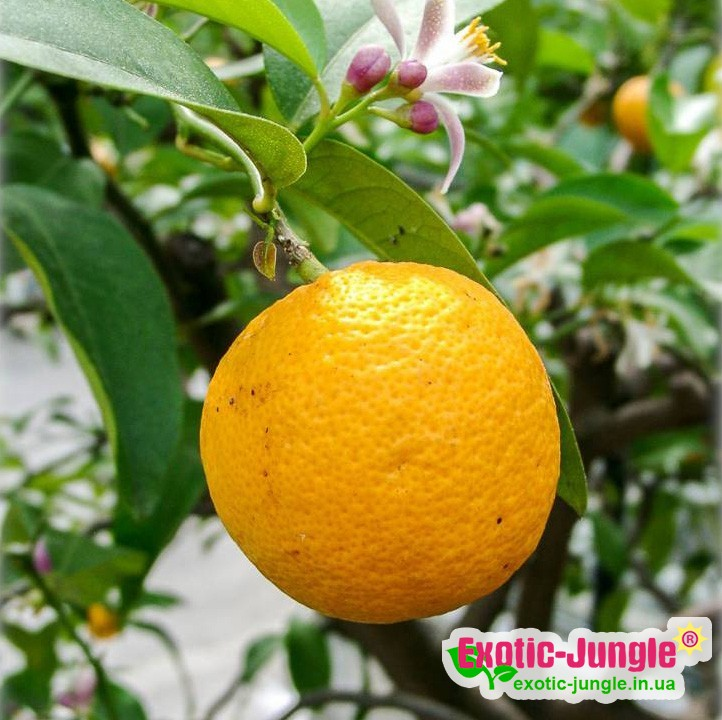 Лимон Волкамериана (Citrus volkameriana) 20-25 см. Кімнатний