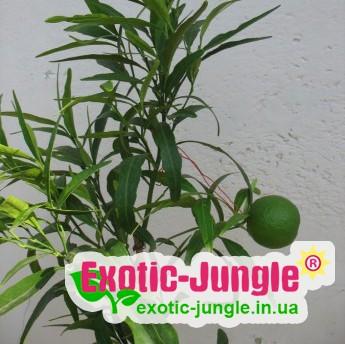 """Апельсин Іволістний """"Варя"""" (C. sinensis """"Varia"""") 20-25 см Кімнатний."""