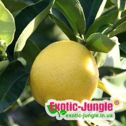 Лимон «Ванільний» (Citrus limon Vainiglia) до 20 см. Кімнатний