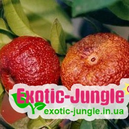 Клементин Рубіно Россо (Citrus clementina Rubino Rosso) до 20 см з червоною м'якоттю. Кімнатний