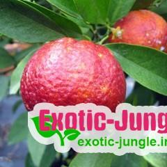 Клементин Рубино Россо (Citrus clementina Rubino Rosso) 20-25 см с красной мякотью .Комнатный