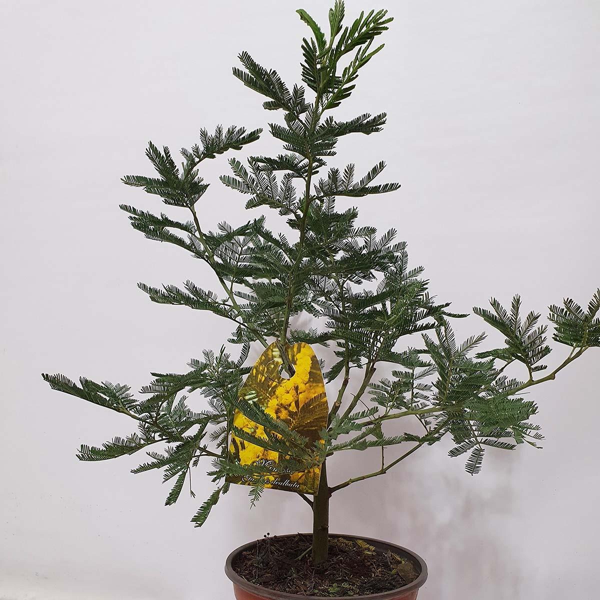 Цветок Мемоза 40-50 см. в горшке