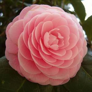 Камелія Японська рожева 40-50 см. в контейнері