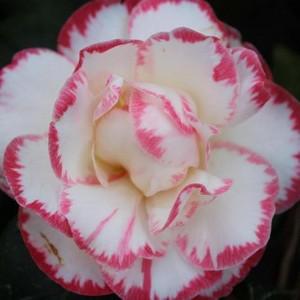 Камелія Японська біло-рожева 40-50 см. в контейнері