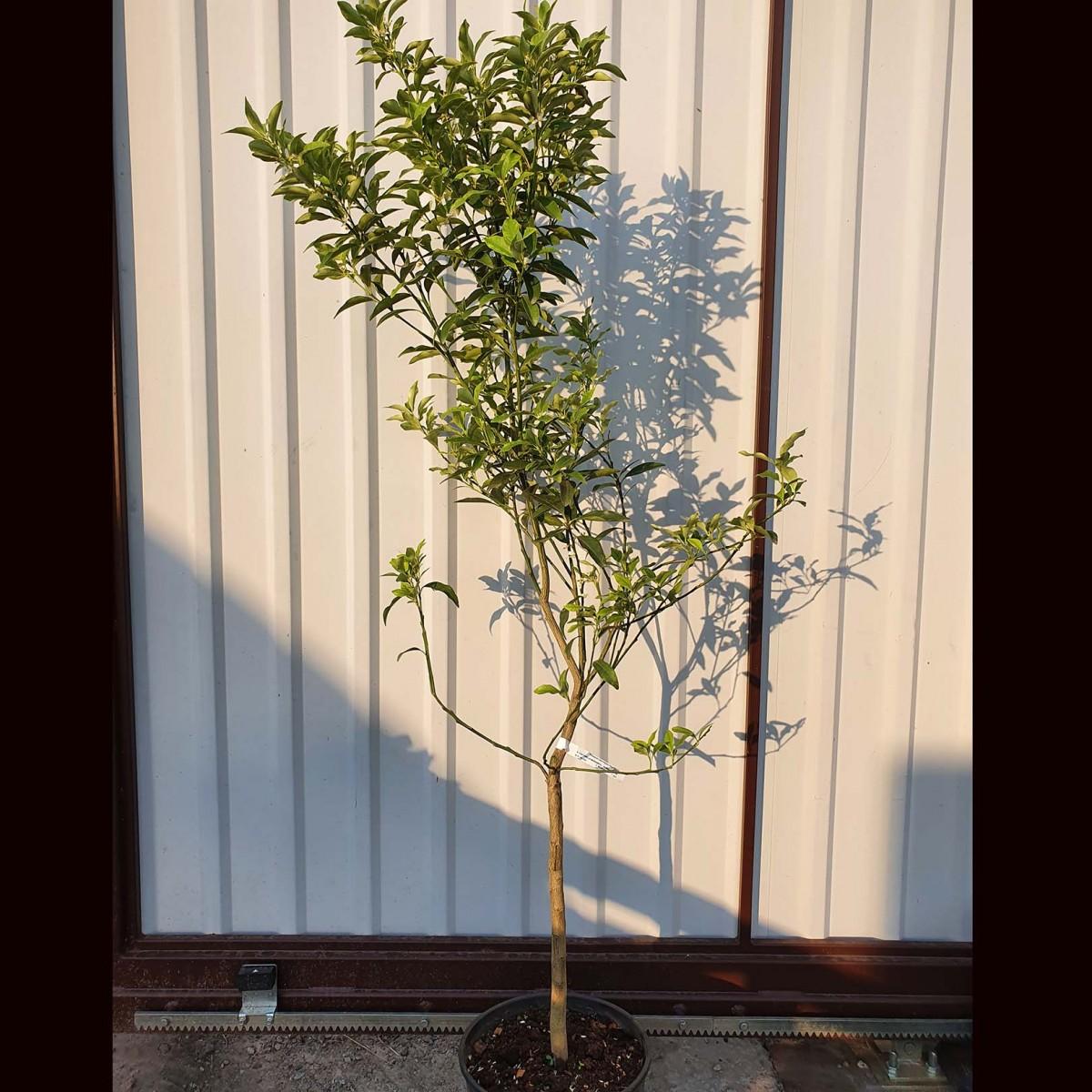 Цитрусовые растения КРУПНОМЕРЫ (закрытая корневая) 120-150 см. Комнатный