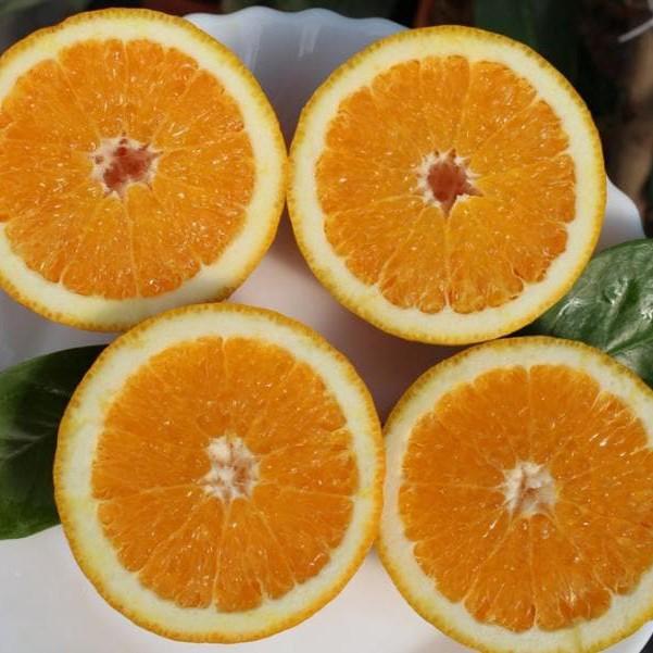 """Апельсин Полуничний"""" Фрагола """"(C. sinensis"""" Fragola"""") до 20 см. кімнатний"""
