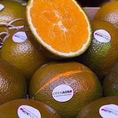 "Апельсин ""Шоколадный"" (Navel Chocolate) 20-25 см. Комнатный"