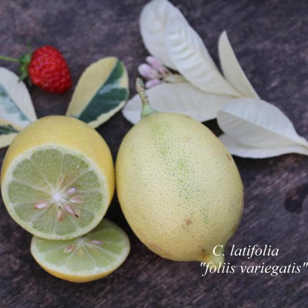"Лайм ""Таити"" Вариегатный (C.latifolia ""foliis variegatis"") до 20 см."