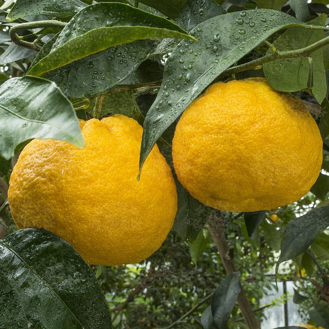 Грейпфрут C. paradisi Kawano natsu daidai 20-25 см. Комнатный