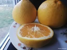 """Грейпфрут Овалетто (C. paradisi """"ovaletto"""") 20-25 см. кімнатний"""