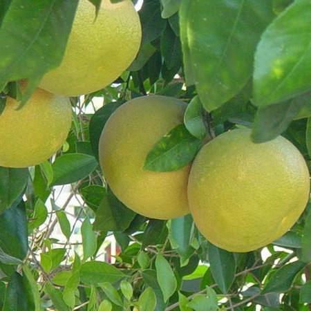 "Грейпфрут ""Дункан"" (C. paradisi ""Duncan"") 20-25 см. Комнатный"