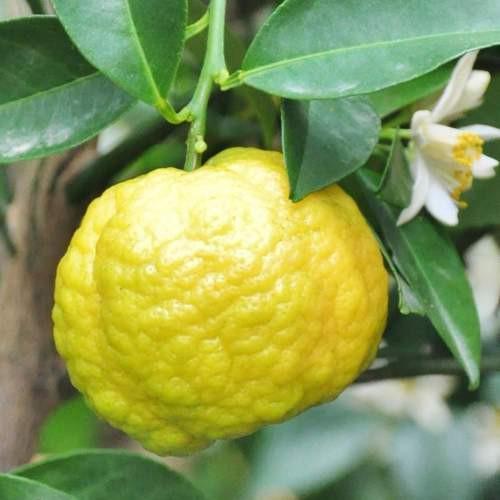 """Лимон """"Меллароза"""" (C. Limon Mellarosa) до 20 см. кімнатний"""