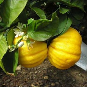 "Лимон ""Меллароза"" (C. Limon Mellarosa) до 20 см. Комнатный"