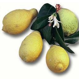 """Лимон """"Иволистный"""" Салицифолия (C. Limon Salicifolia) 20-25 см. Комнатный"""