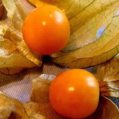 Физалис (Phýsalis) съедобный 50-80 см. Комнатный